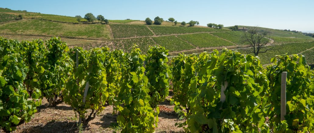 Vignes_Beaujolais